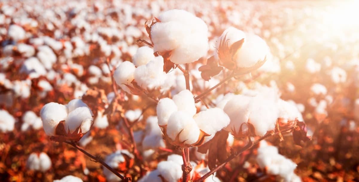champs de coton bio